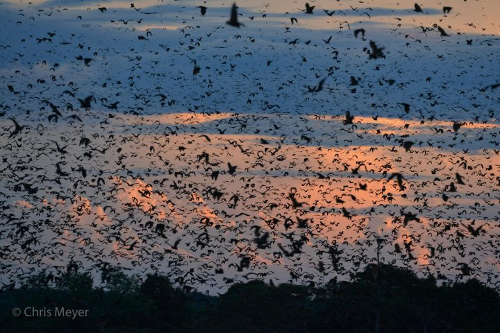 Bat migration, Kasanka NP