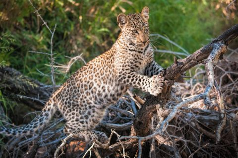 Leopards – Secretive, Elusive, Enthralling