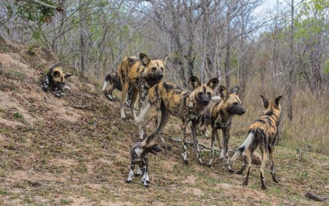 African Wild Dog – tireless hunter