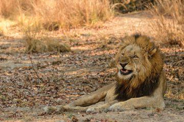 male lion grimacing