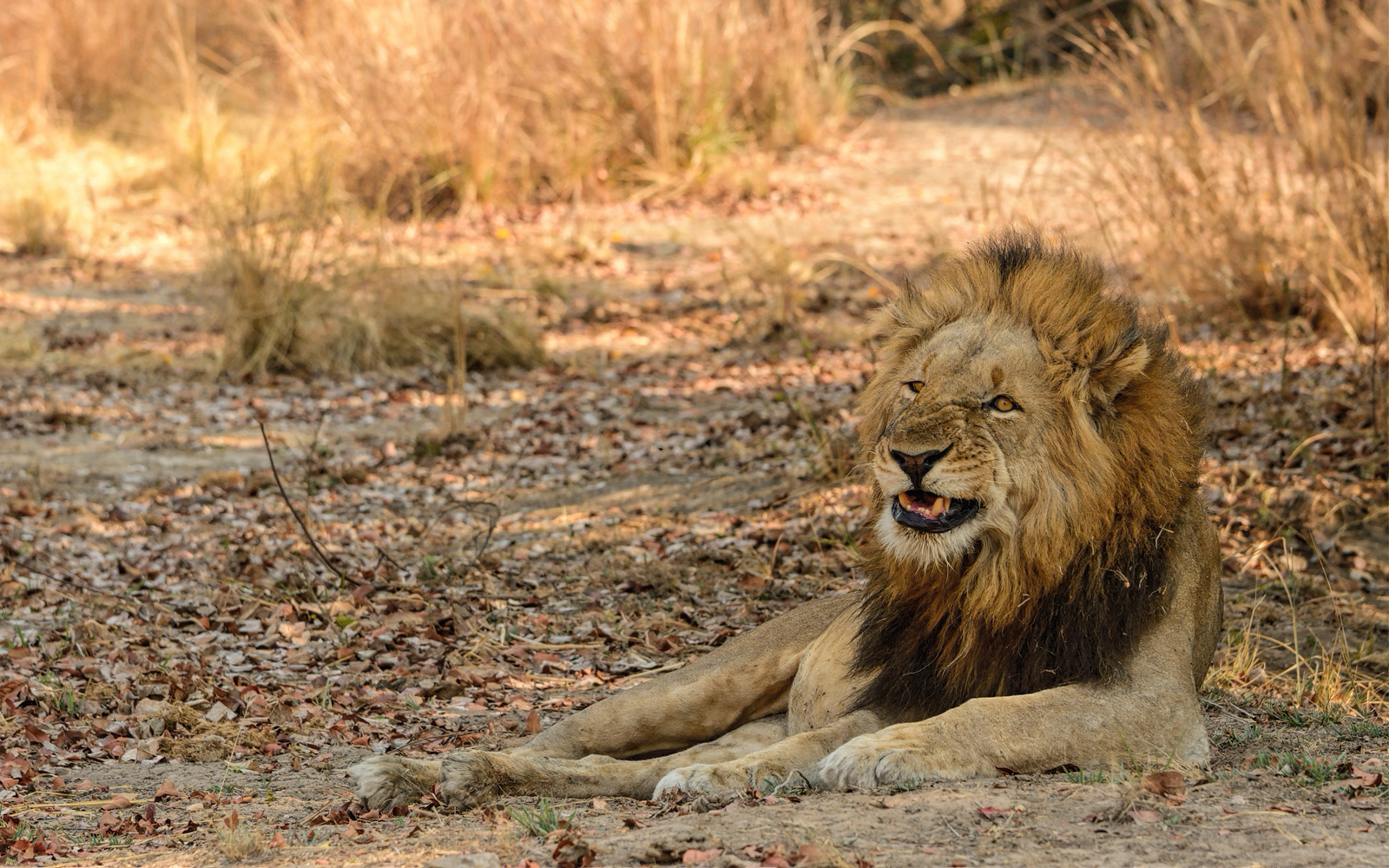 male lion grimacing