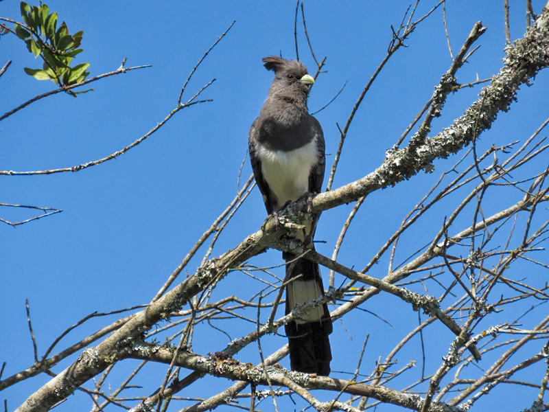 White Bellied Go Away Bird, Laikipia