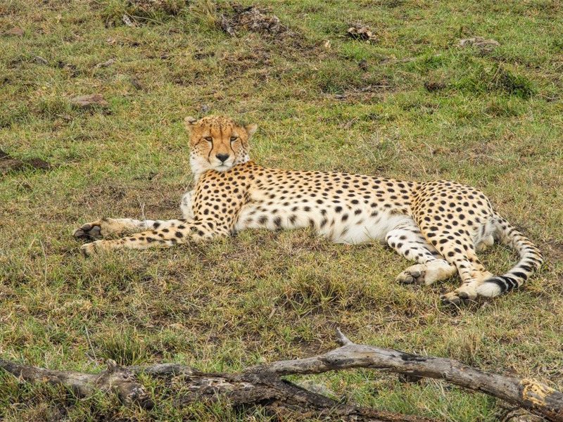 cheetah-lying