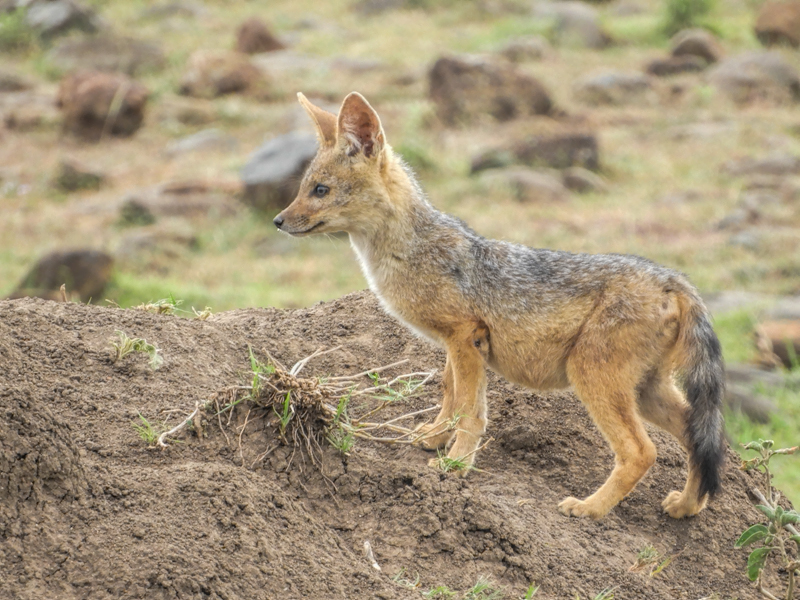 Silver Backed Jackal Cub