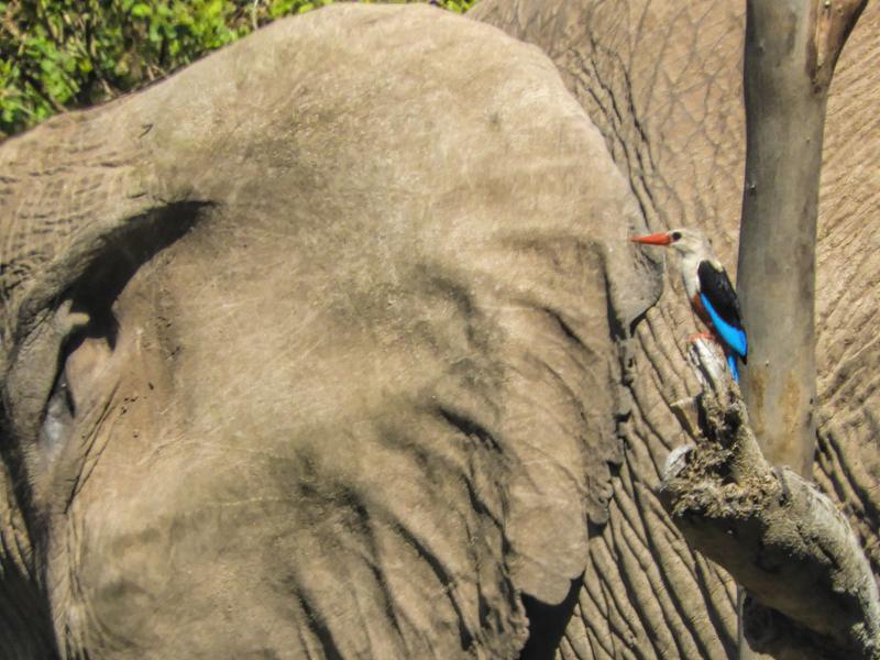 kingfisher-and-elephant-ear