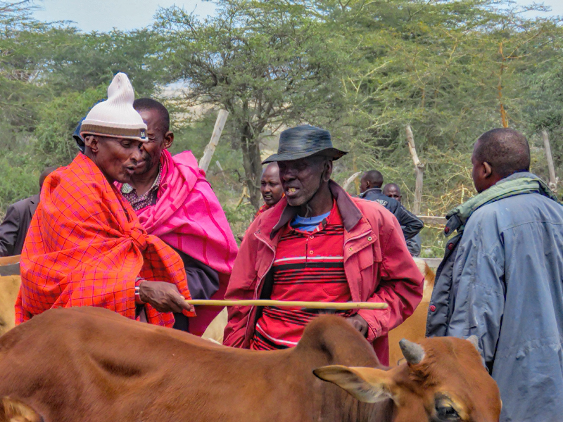 Maasai cattle traders