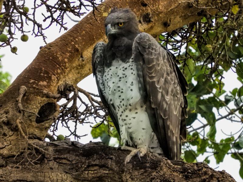 martial-eagle