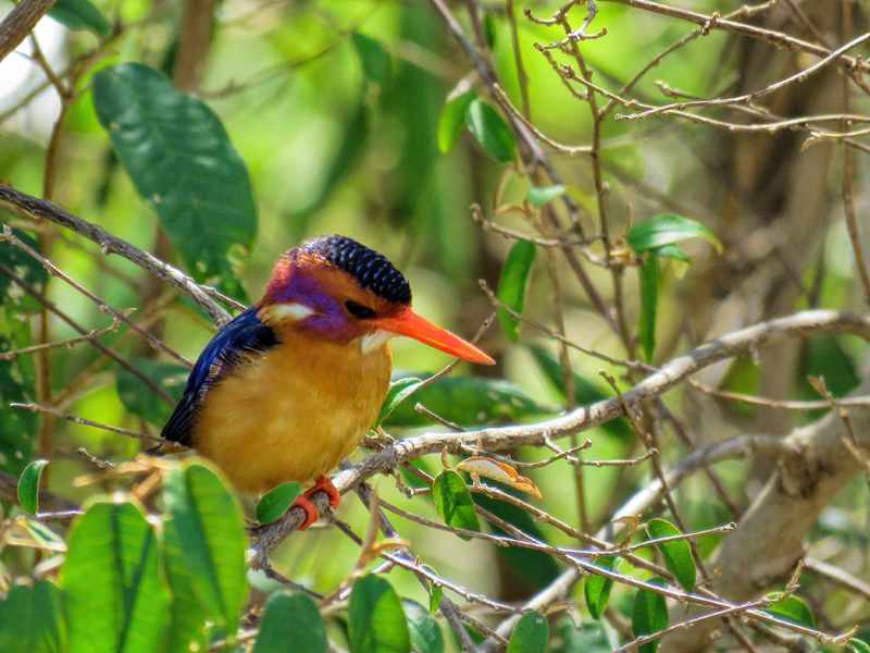 Pygmy Kingfisher, Mara North