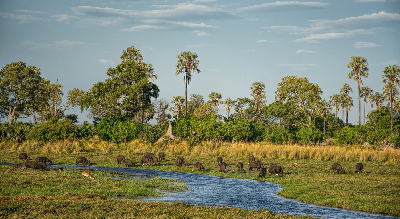 Buffaloes in front of Delta Camp, Okavango Delta
