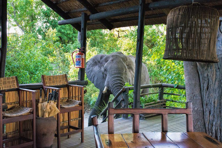 Elephant in camp, Delta Camp, Okavango Delta