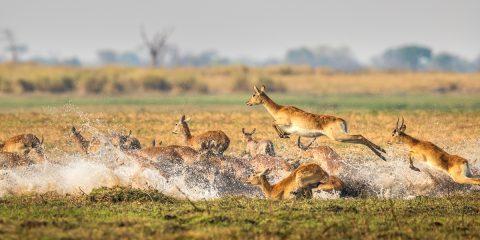 Antelope running through water