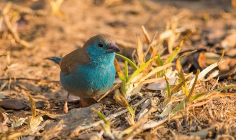 Blue Waxbill, the gardens are great for birding