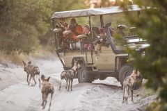 safari vehicle with wild dogs