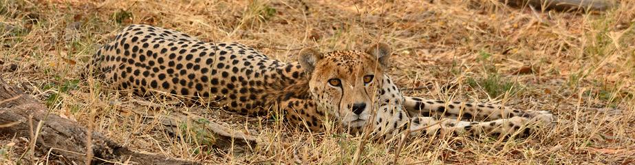 Cheetah, Hwange NP, Zimbabwe