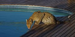 leopard drinking from swimming pool at Tau Pan Lodge, okavango delta