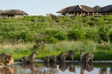 lions at tau pan lodge, okavango delta