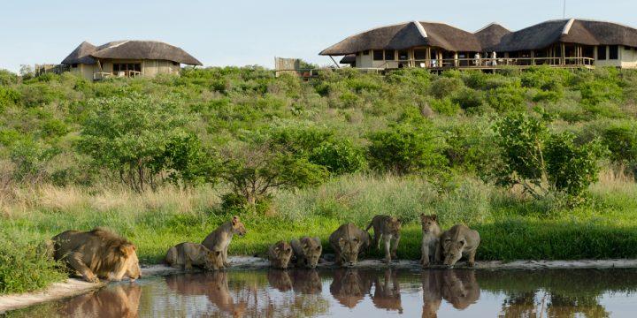 lions at tau pan lodge,