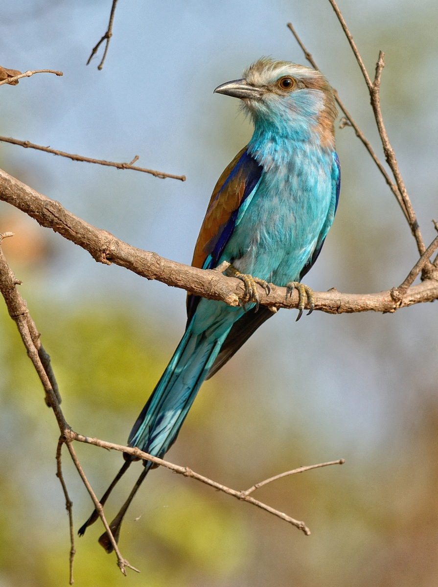 Racket-tailed Roller. Kafue NP, Zambia
