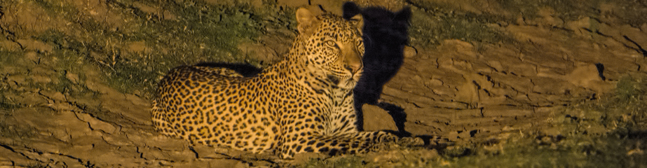 Leopard in spotlight, night drive, South Luangwa NP, Zambia