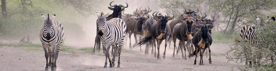 Zebra and Wildebeest, Kenya