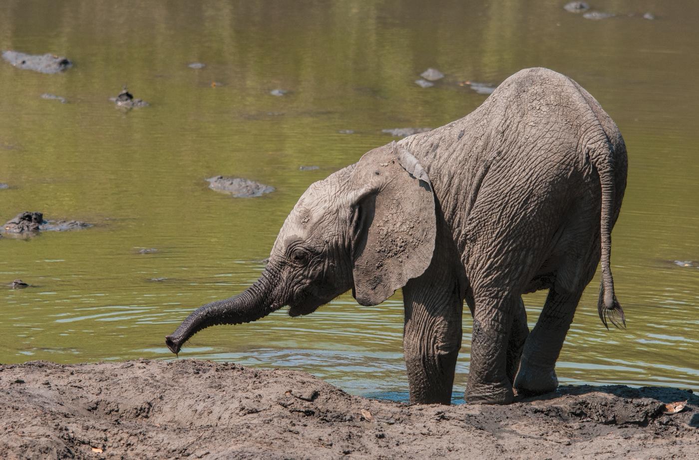 baby elephant Kanga Pan