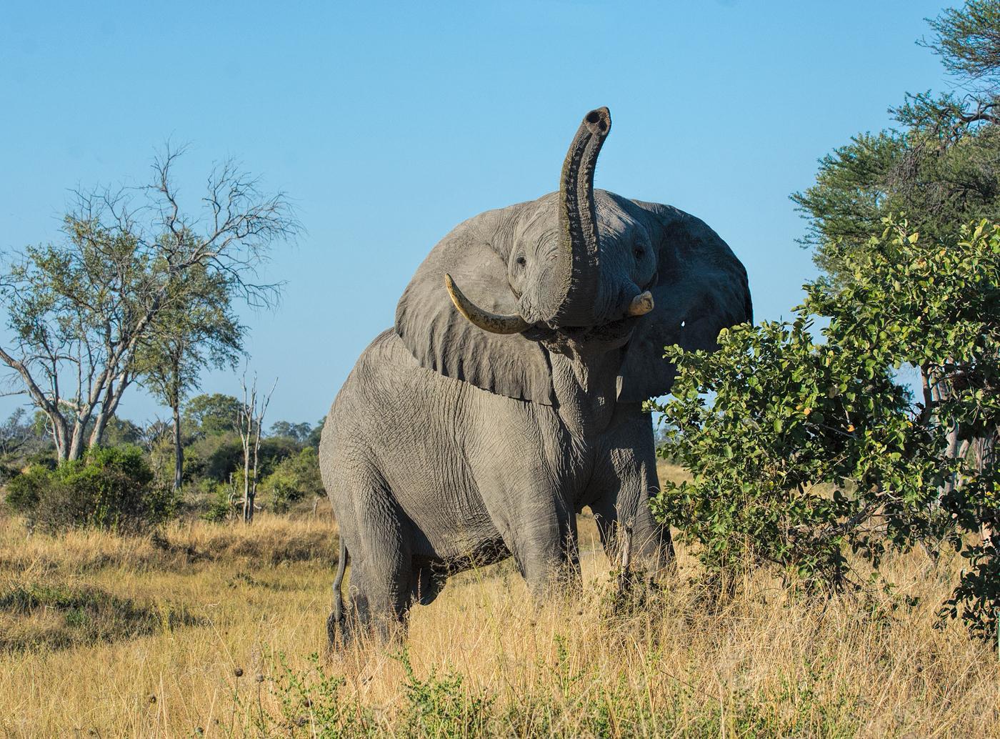 elephant bull, trunk raised