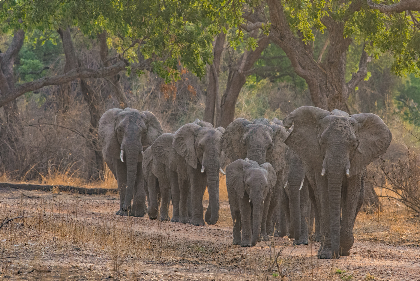elephants emerge from the forest, South Luangwa