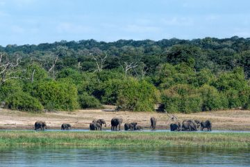 elephants on chobe river side, viewed from boat