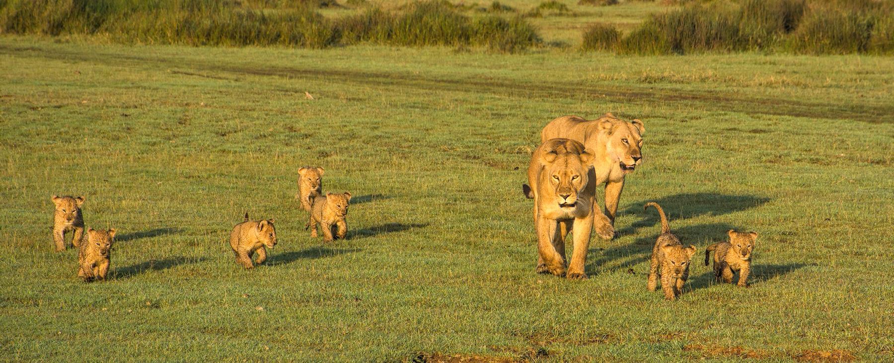 2 lionesses 7 cubs