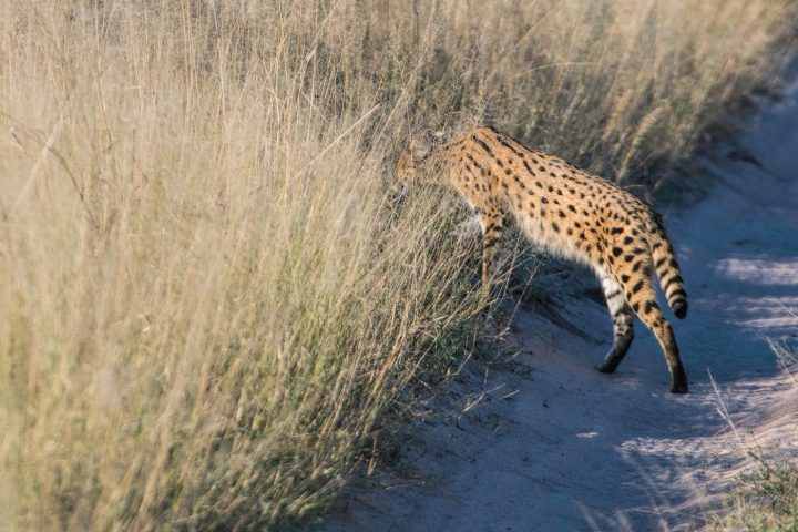 serval disappearing into the long grass