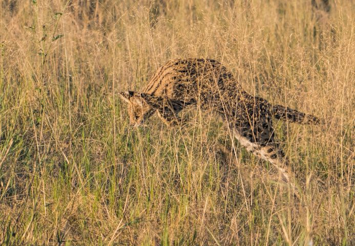 serval pouncing