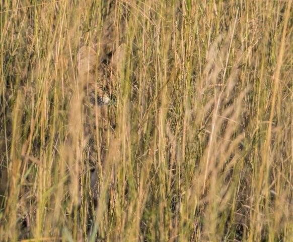 serval camouflage at its best