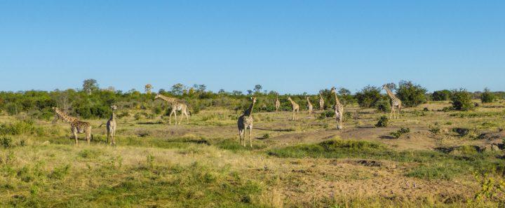 giraffes near Mazuma Pan, Hwange NP