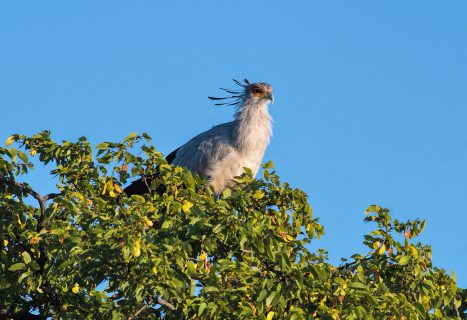 secretarybird on nest