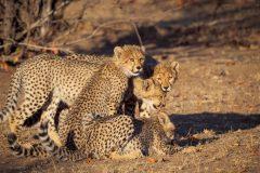 Tuli game reserve_Cheetahs