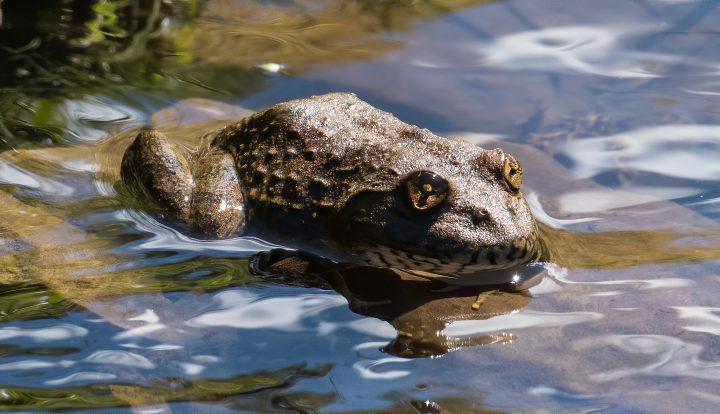 Maluti river frog